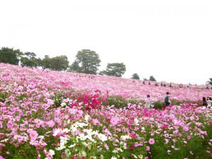 国営昭和記念公園の秋桜