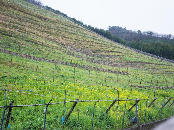 ココ・ファーム・ワイナリーの葡萄畑