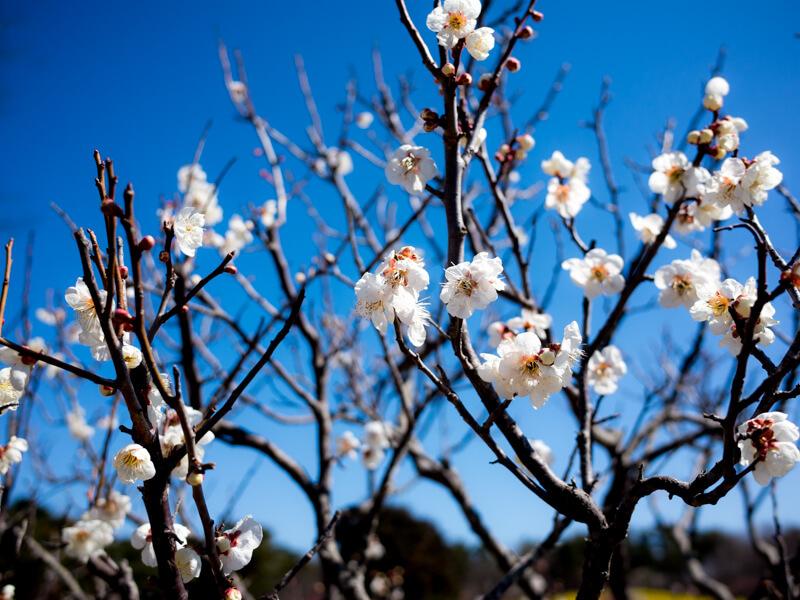 春らしい写真を - 梅・黄水仙・チューリップ