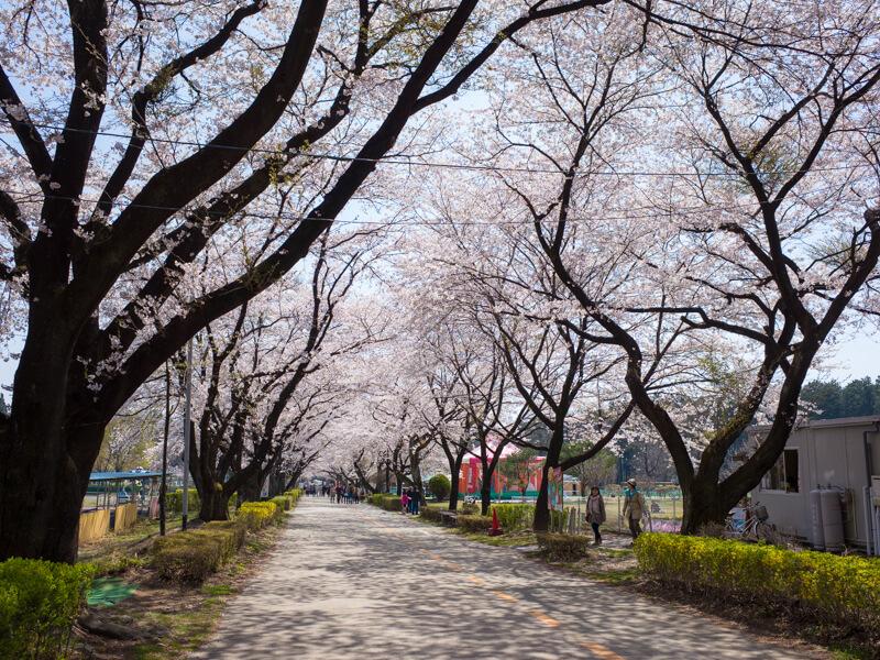 那須千本松牧場の桜並木