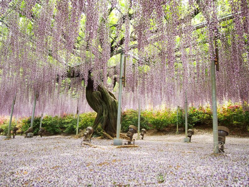 藤の花の名所 - 栃木・足利の『あしかがフラワーパーク』
