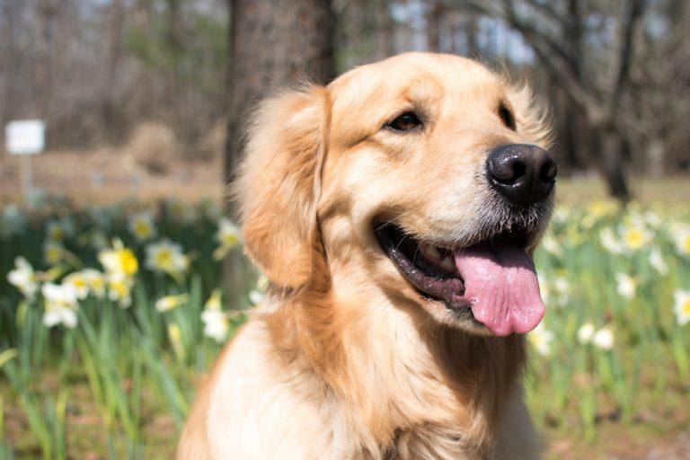 黄水仙と犬