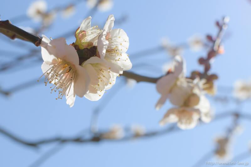 japanese_apricot