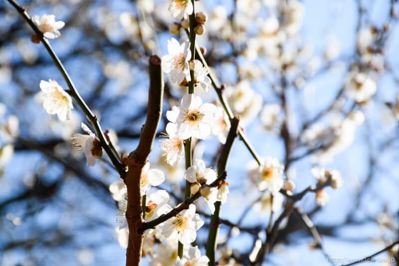 春を告げる梅の花 – 新宿御苑を散歩