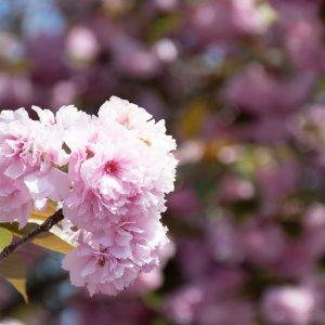 淡紅の八重桜 – 富谷山ふれあい公園