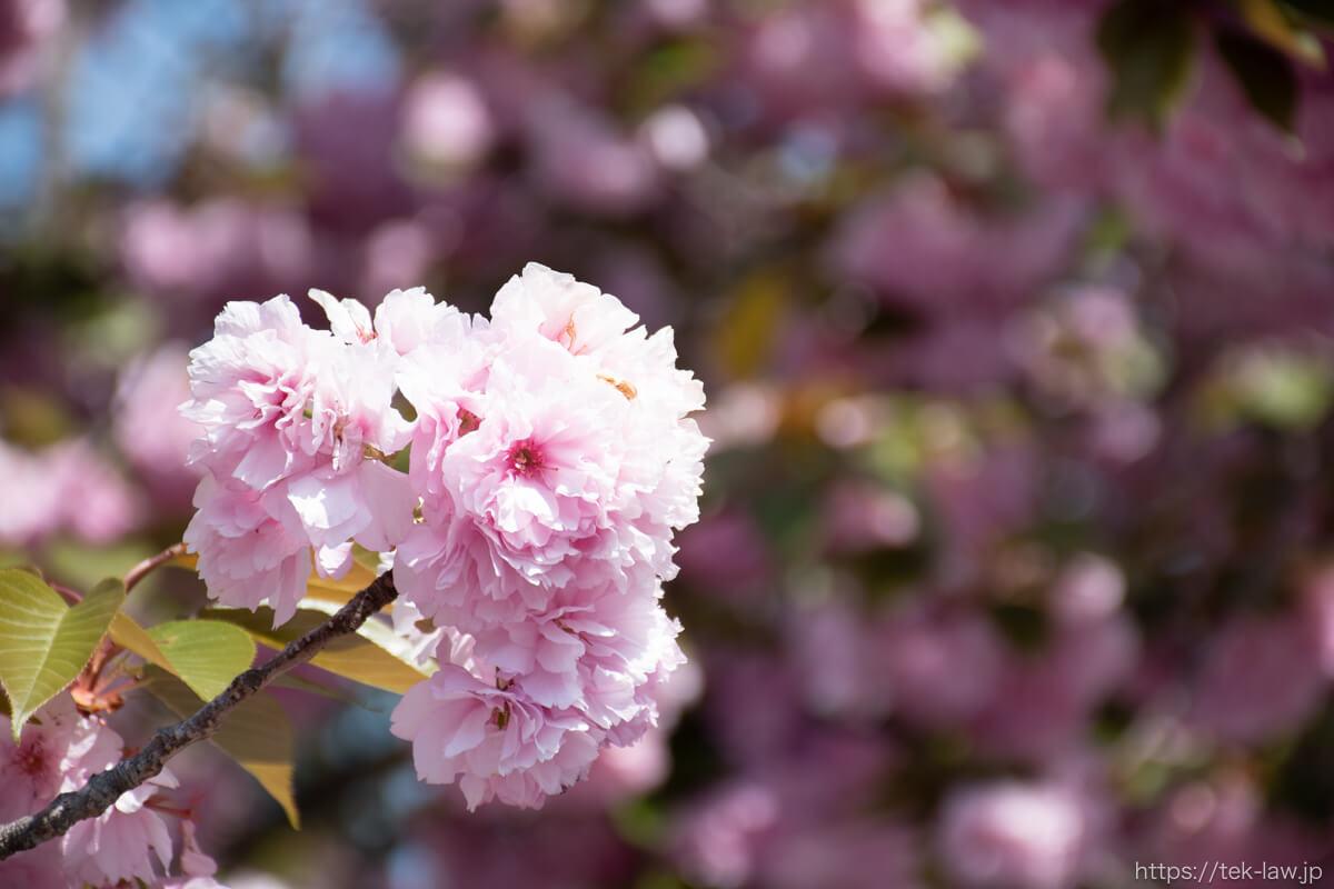富谷山ふれあい公園の八重桜