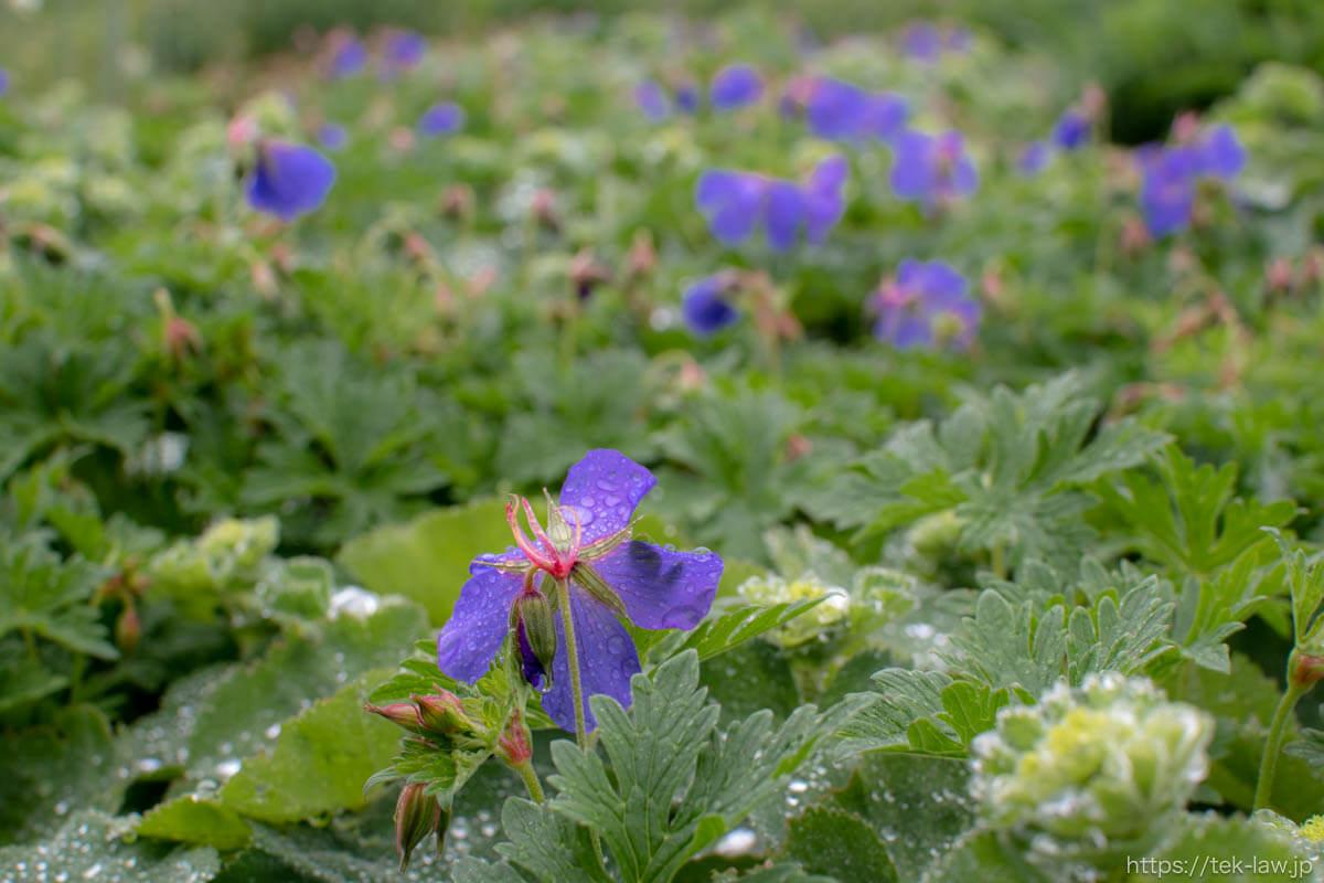 雨の雫と紫の花びら