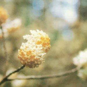 ミツマタの群生地では、山の斜面が黄色い花で覆われる