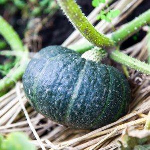 育ててよかった野菜 – 2020年夏の家庭菜園を振り返る