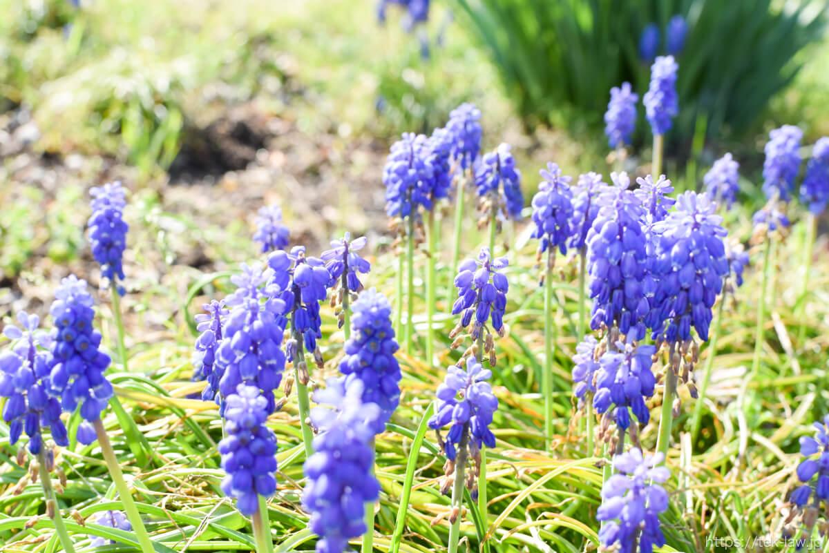 庭に咲くムスカリの花