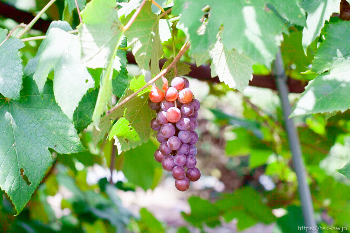庭先のブドウ