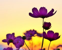 sunset_and_flower-image
